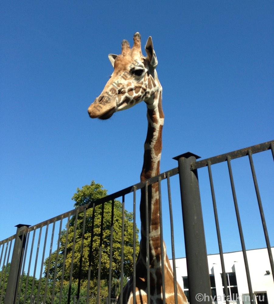 Почему у жирафа такая длинная шея